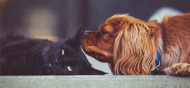 En Cavalier King Charles Spaniel luktar på en katt